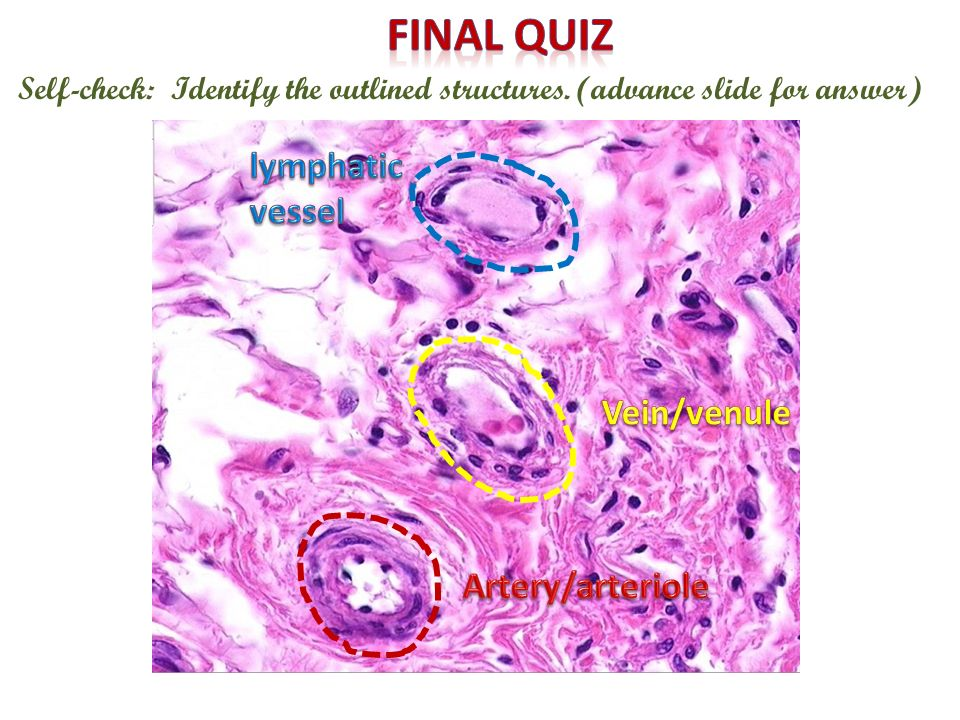 Final quiz lymphatic vessel Vein/venule Artery/arteriole