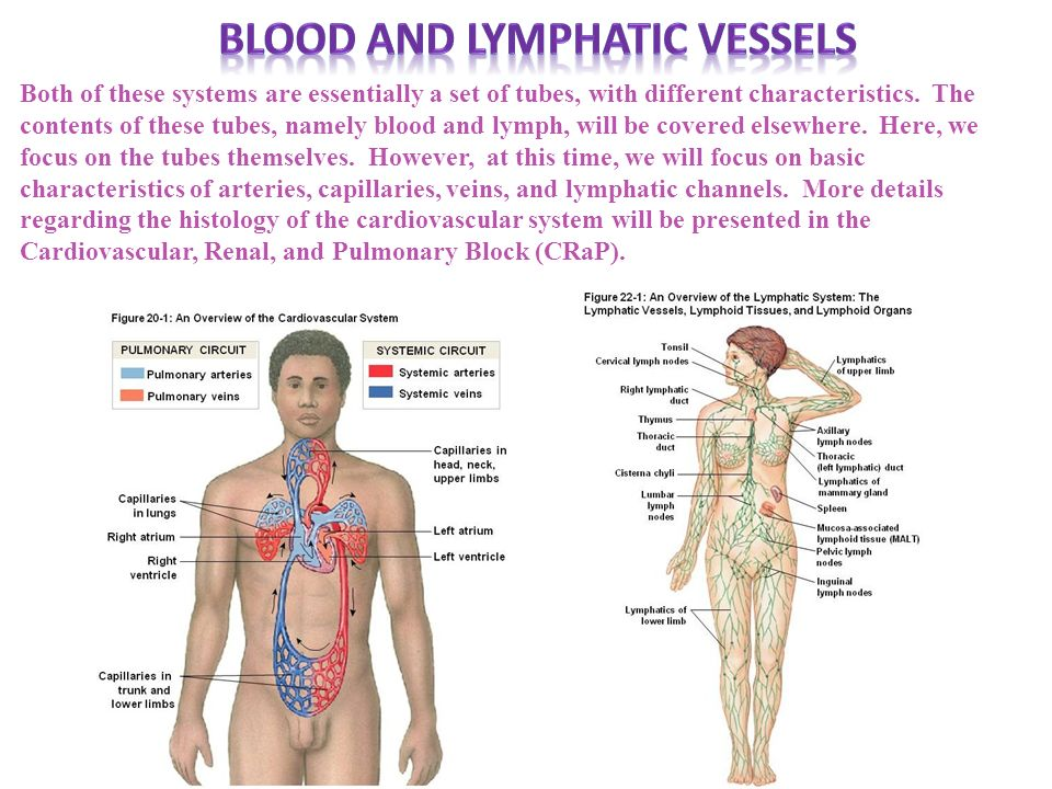 Blood and lymphatic vessels