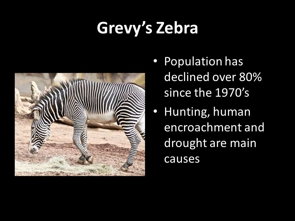Grevy's Zebra Population has declined over 80% since the 1970's