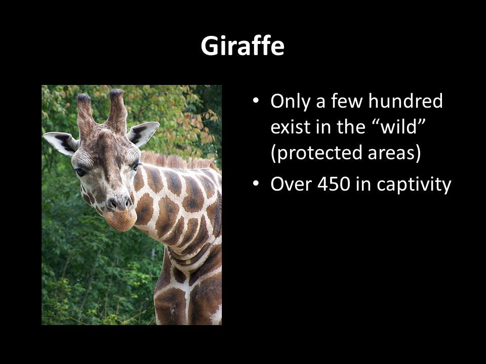 Giraffe Only a few hundred exist in the wild (protected areas)