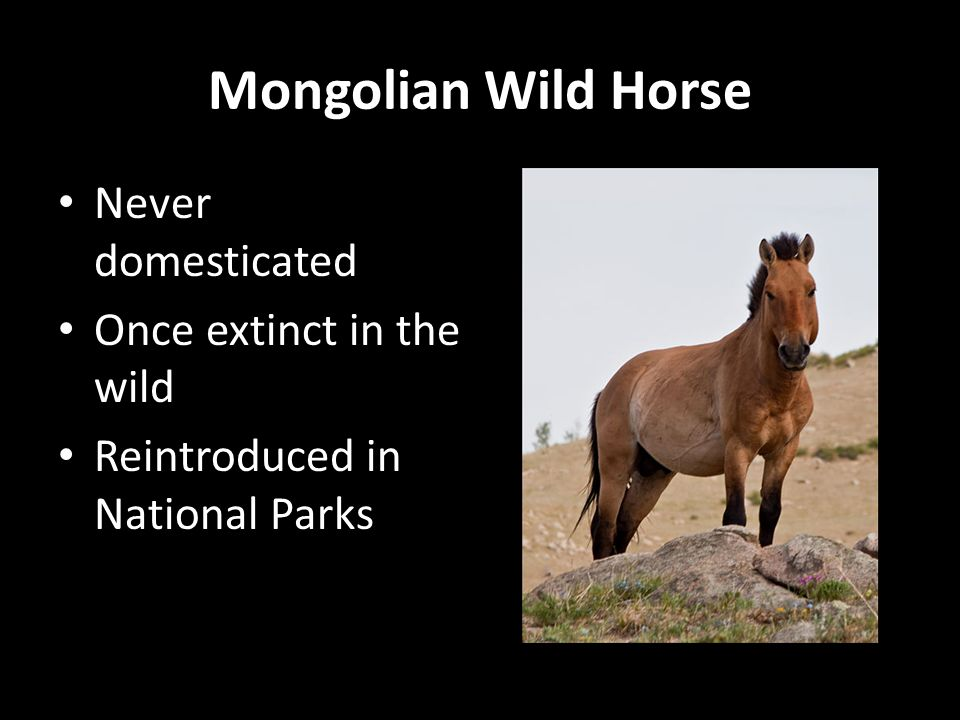 Mongolian Wild Horse Never domesticated Once extinct in the wild