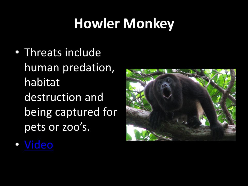 Howler Monkey Threats include human predation, habitat destruction and being captured for pets or zoo's.
