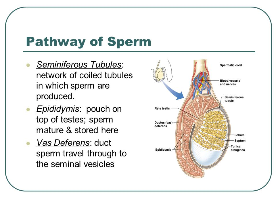 Opinion What is sperm made of