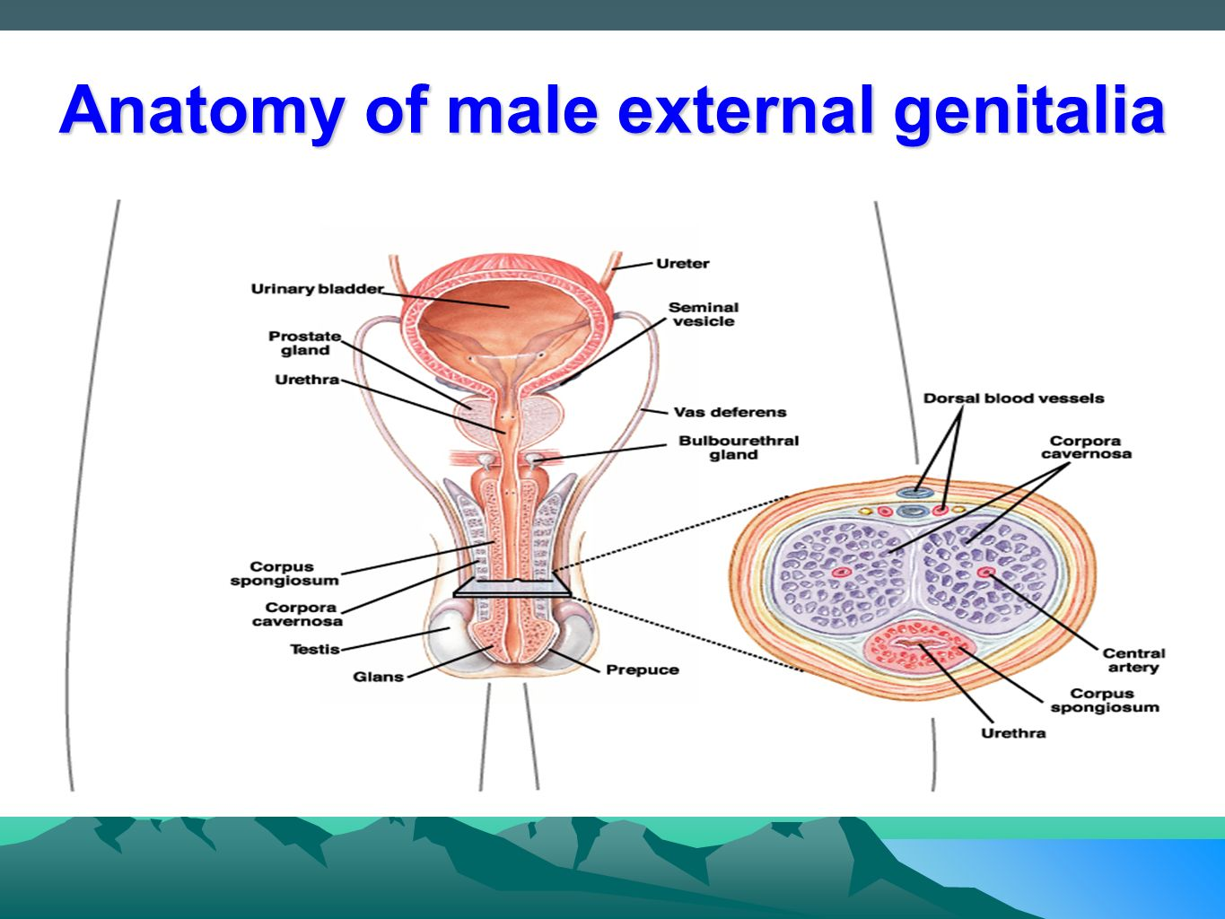 Anatomy of genitalia
