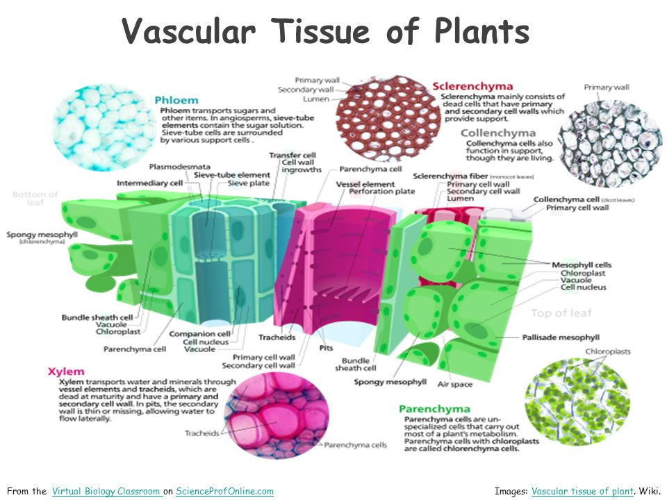 Vascular tissue in plants consists of