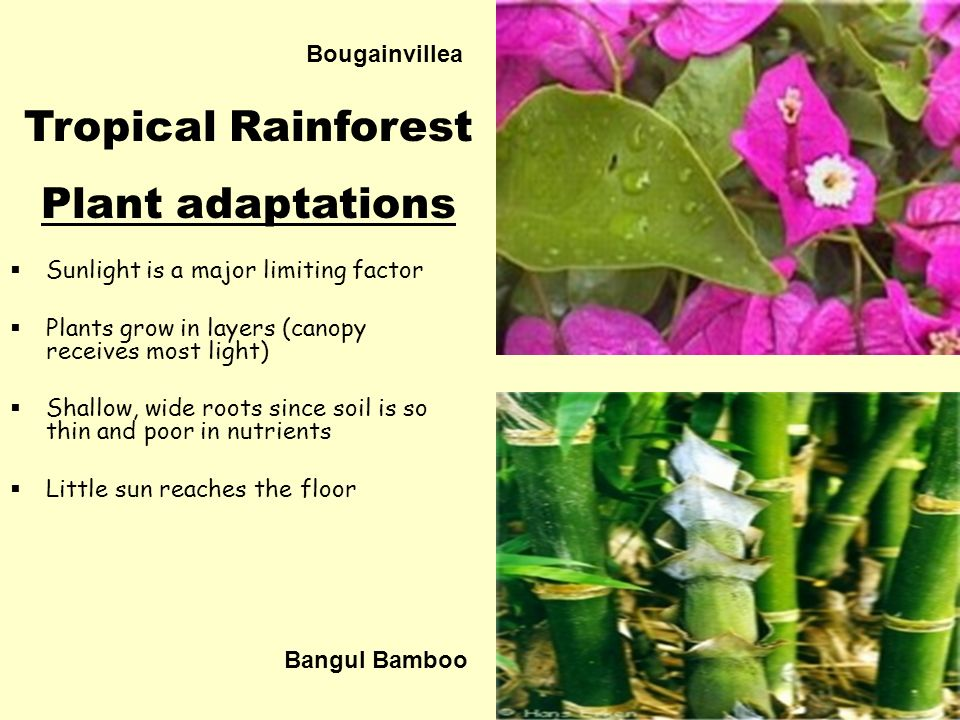 tropical rainforest plants adaptations