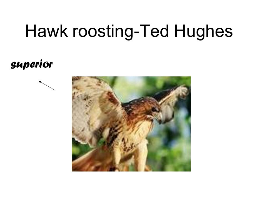 hawk roosting inspired story In 1946 one of his early poems wild west and a short story were published in the grammar a classic example is the poem hawk roosting inspired by robert.