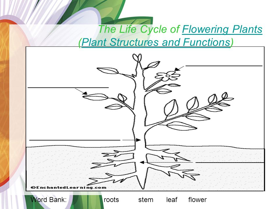 Life Cycle Of A Flowering Plant Ks2 Ppt - Flowers Healthy