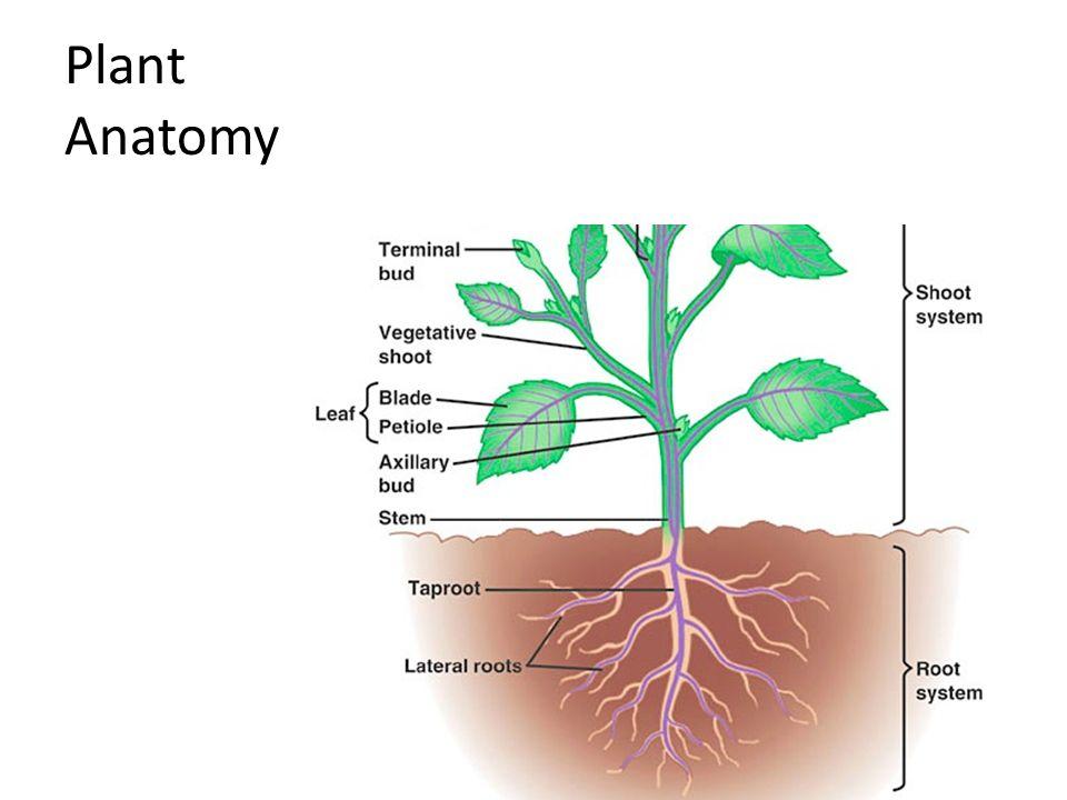 Plant Anatomy Ppt 2939260 Follow4morefo