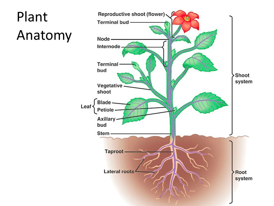 The anatomy of a plant