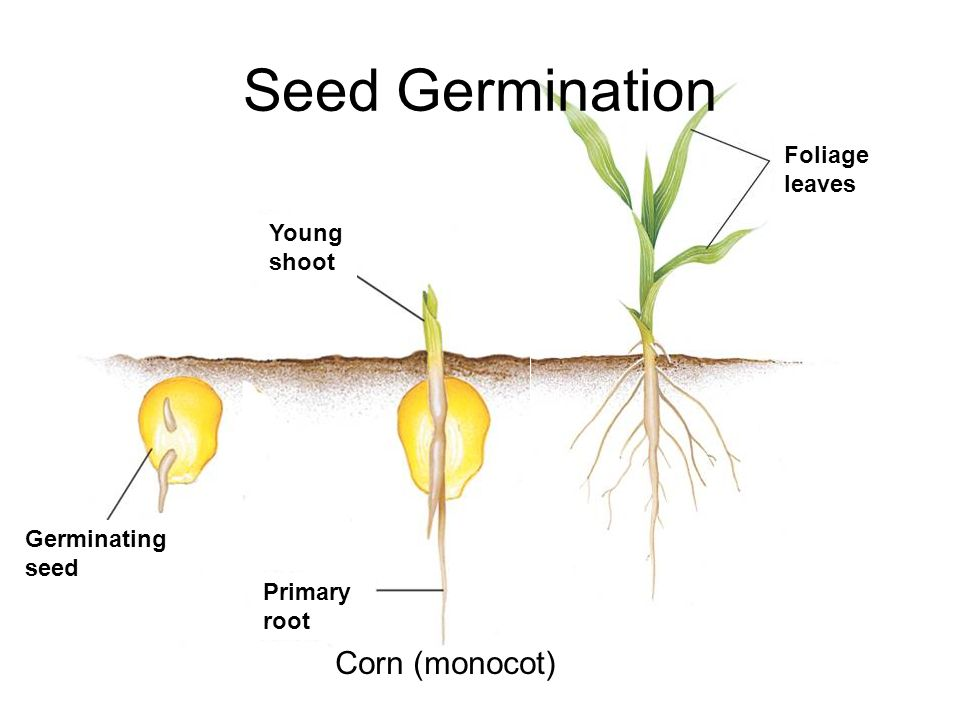Formal lab report seed germination lab ppt video online for How to plant lemon seeds after germination