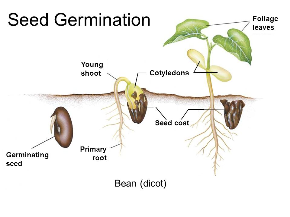 introduction to germination seed 2010-06-24 in some species from families brassicaceae and solanaceae  introduction soil salinization is  seed germination in.