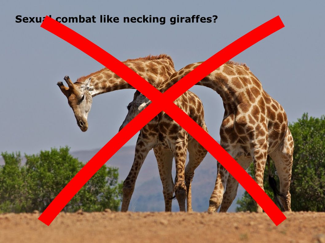 Were the necks of apatosaurus and brontosaurus adapted for combat 46 sexual combat like necking giraffes pooptronica Image collections