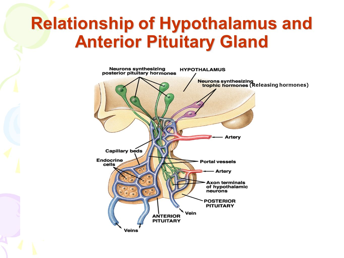 relationship between the hypothalamus and posterior pituitary gland