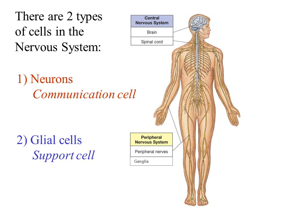 two main types of cells in nervous system biology essay Mcat biology review which are the primary organizational structures in one major branch of the nervous system  cells of the nervous system.