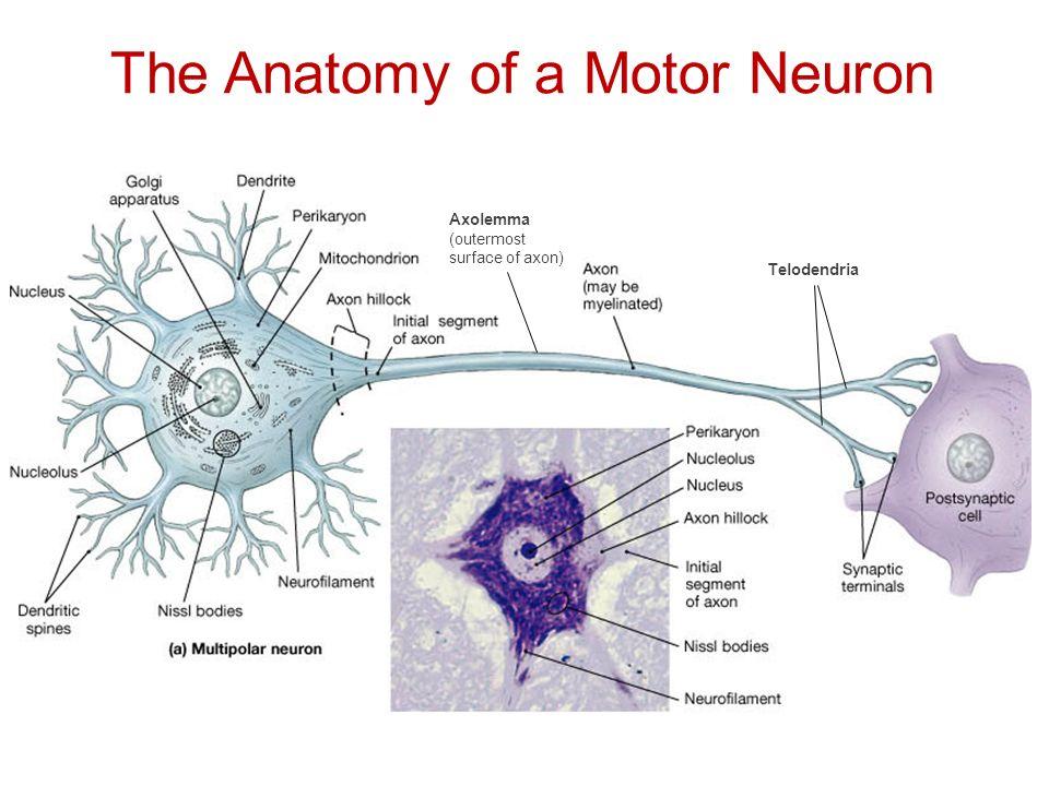 Anatomy of neurons