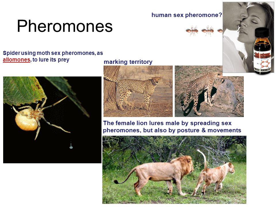 Pheromones human sex pheromone marking territory