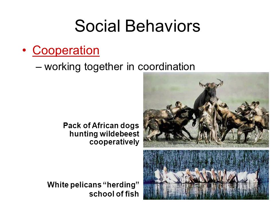 Social Behaviors Cooperation working together in coordination