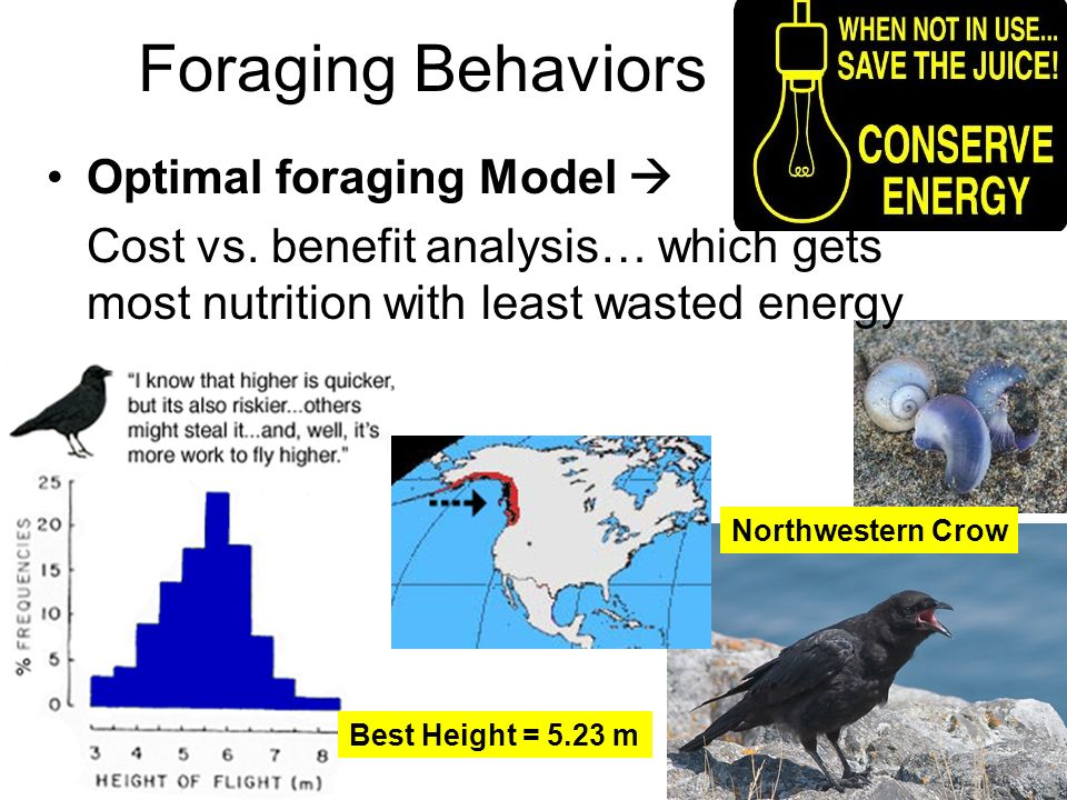 Foraging Behaviors Optimal foraging Model 