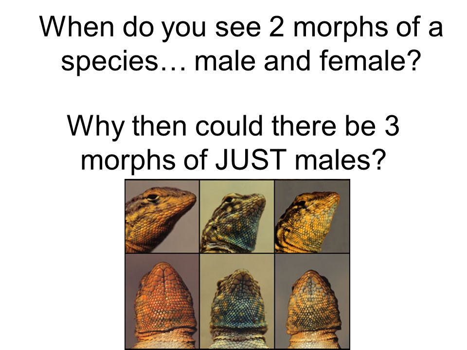 Why then could there be 3 morphs of JUST males