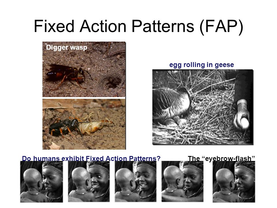 Fixed Action Patterns (FAP)