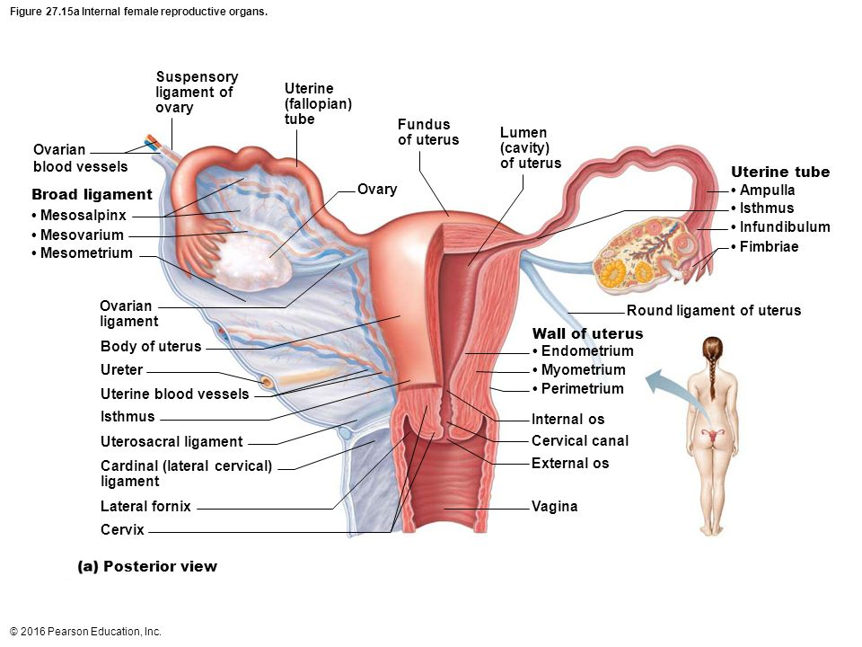 Uterus Anatomy Ligaments Chapter 27 Reproductiv...