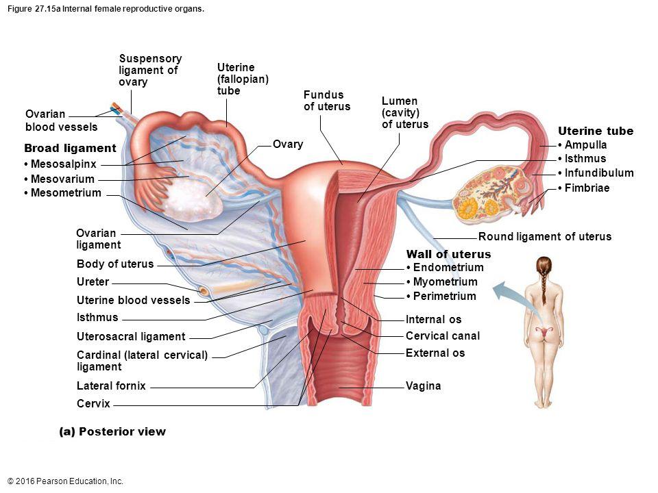 Groß Anatomie Des Uterus Und Ovarien Zeitgenössisch - Menschliche ...