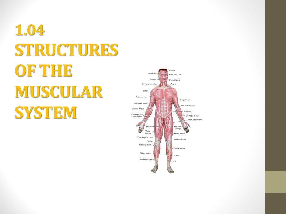 Structures Muscular System 36