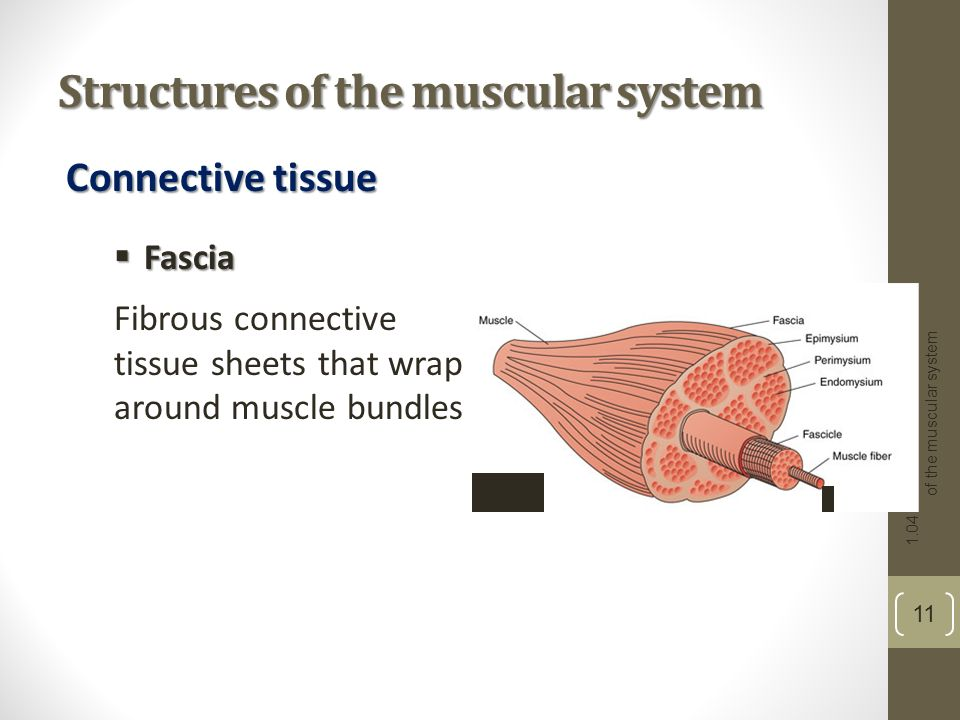 Structures Muscular System 41
