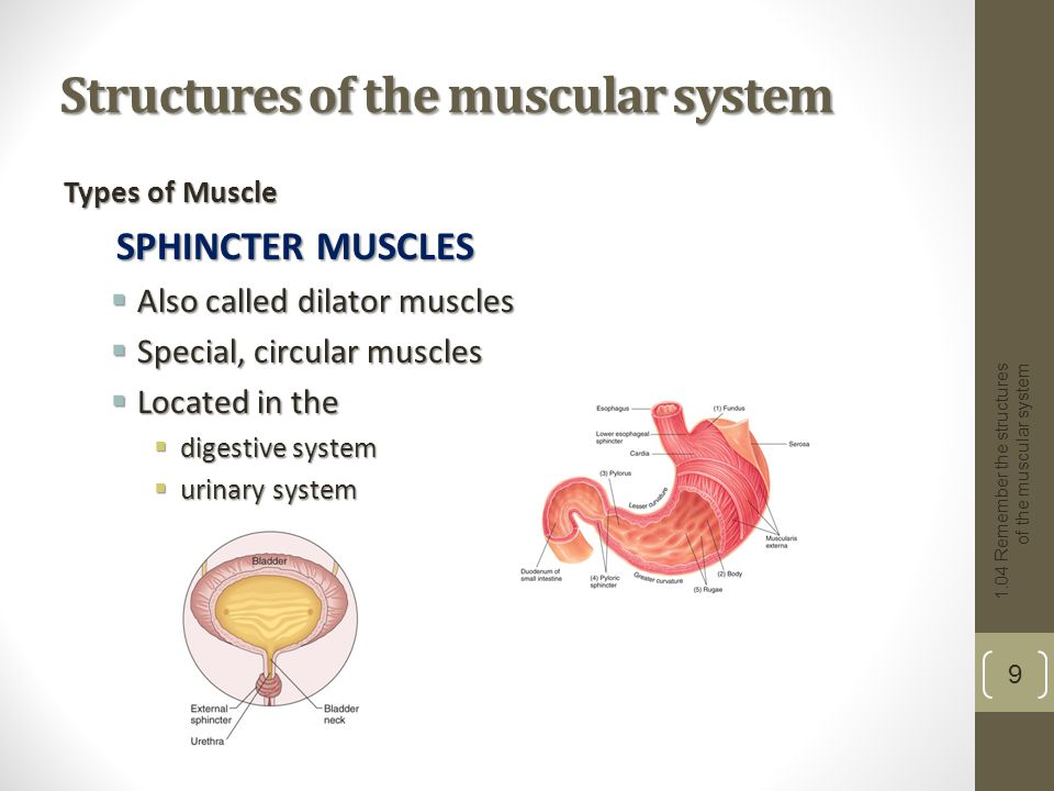 The Digestive System - SUNY Downstate Medical Center