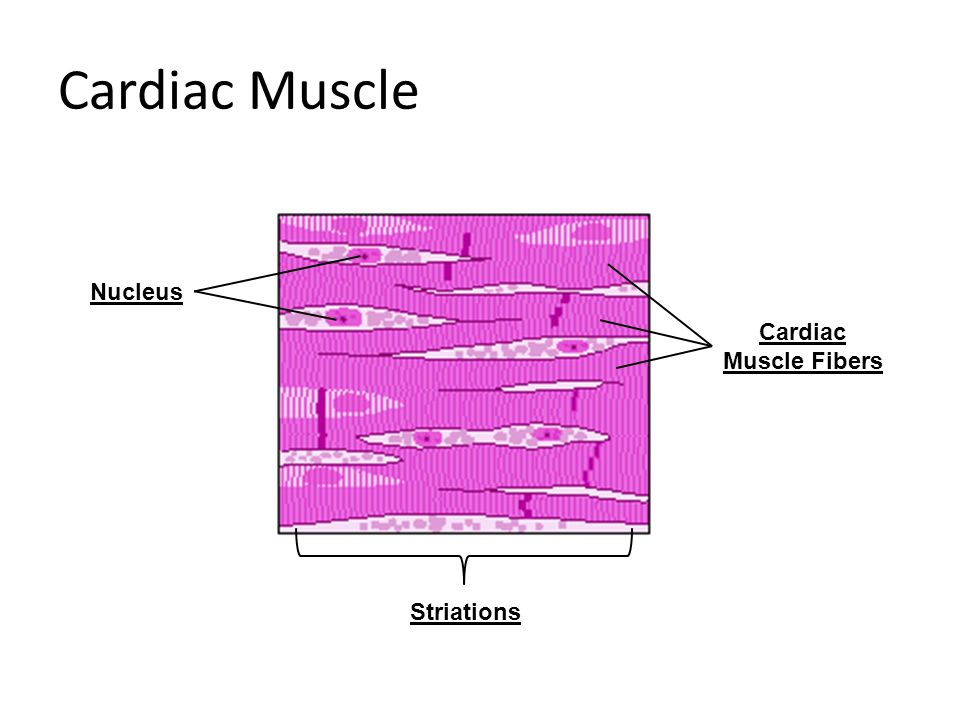 Pictures Of Nucleus Of Cardiac Muscle Fiber Kidskunstfo