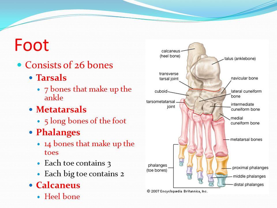 Foot Consists Of Bones Tarsals Metatarsals Phalanges Calcaneus