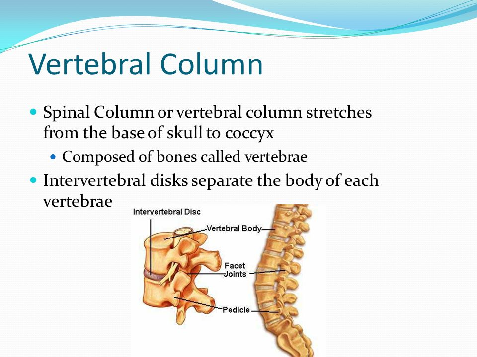 Vertebral Column Spinal Column Or Vertebral Column Stretches From The Base Of Skull To Coccyx Composed Of Bones Called Vertebrae