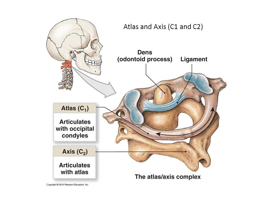 Fantastisch Atlas Der Beckenanatomie Und Gynäkologischen Chirurgie ...