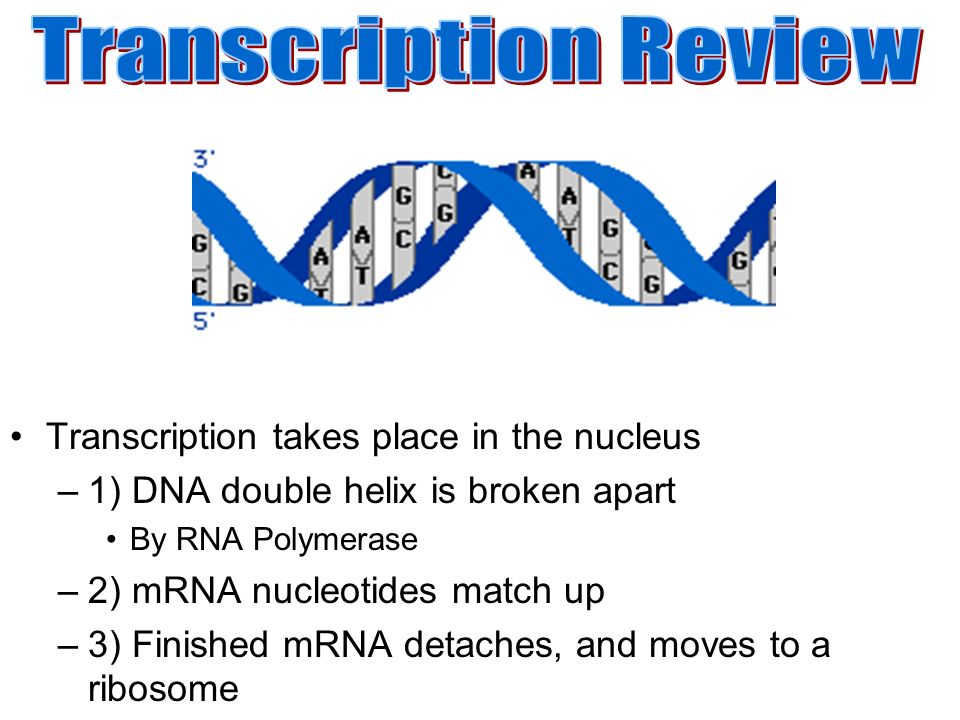 Transcription Is The Synthesis Of Rna From A Dna Template Where Code In Converted Into Plementary Translation