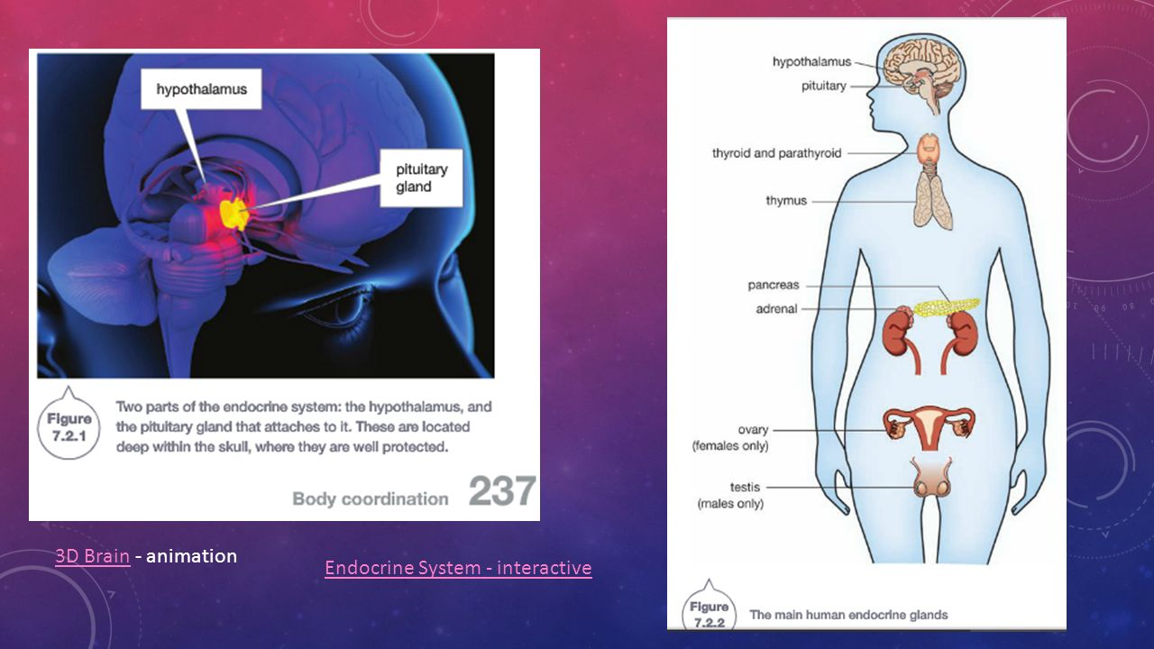 Chemical control chapter 7 2 p ppt download 2 3d brain animation endocrine system interactive ccuart Choice Image