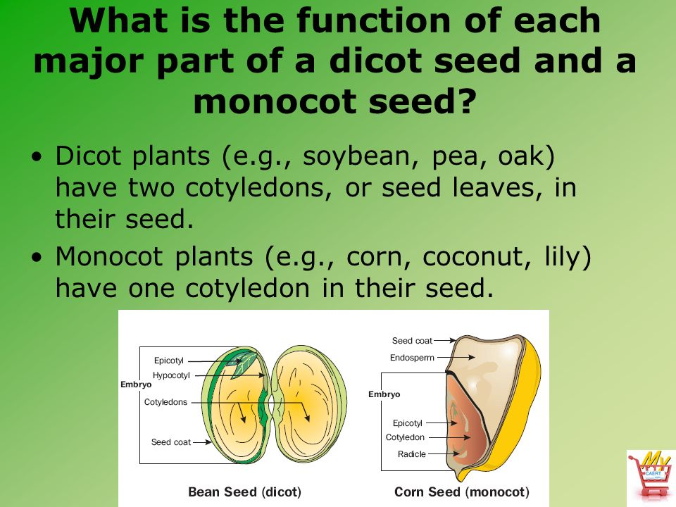 dicot plants have two seed leaves