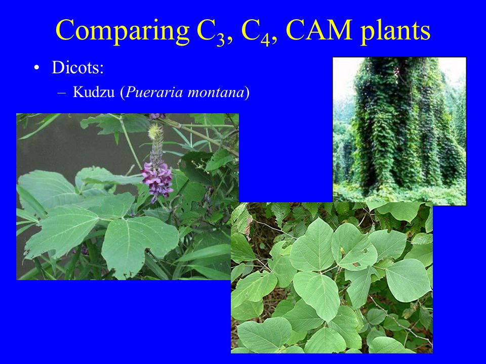 Fantastic Leaf Anatomy Of C3 C4 And Cam Plants Collection - Image of ...