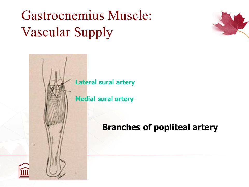 gastrocnemius artery - photo #34
