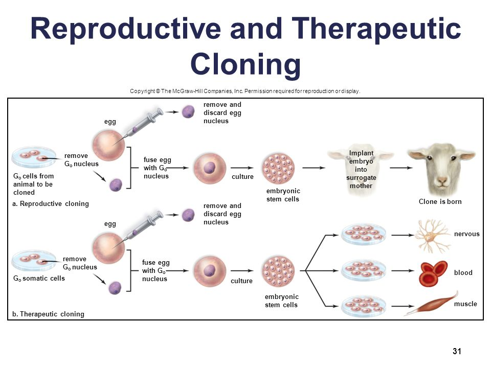 therapeutic cloning Understanding the real science of cloning behind the headlines and the hubbub.