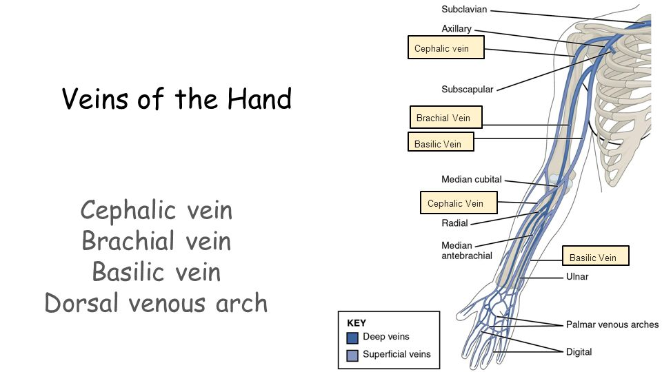 by ashley, jamie, mollie, & sabina - ppt video online download, Cephalic Vein