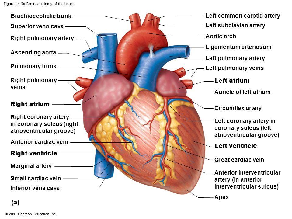 Pearson health heart diagram tools 2015 pearson education inc ppt download rh slideplayer com heart diagram of a hummingbird pearson diagram ccuart Images