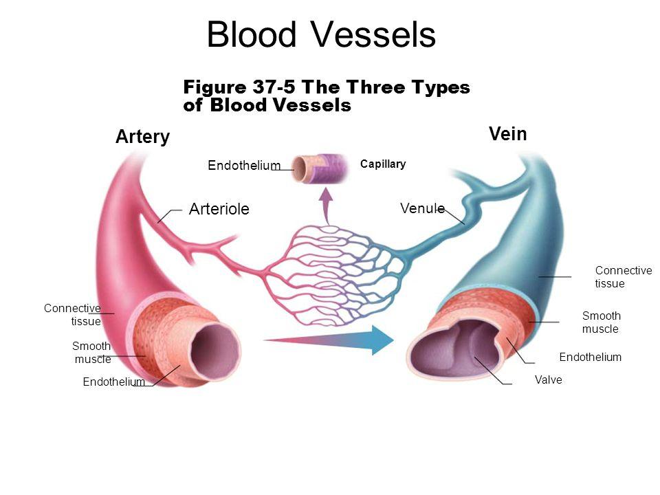 Blood Vessels Figure 37 5 The Three Types Of Blood Vessels Vein