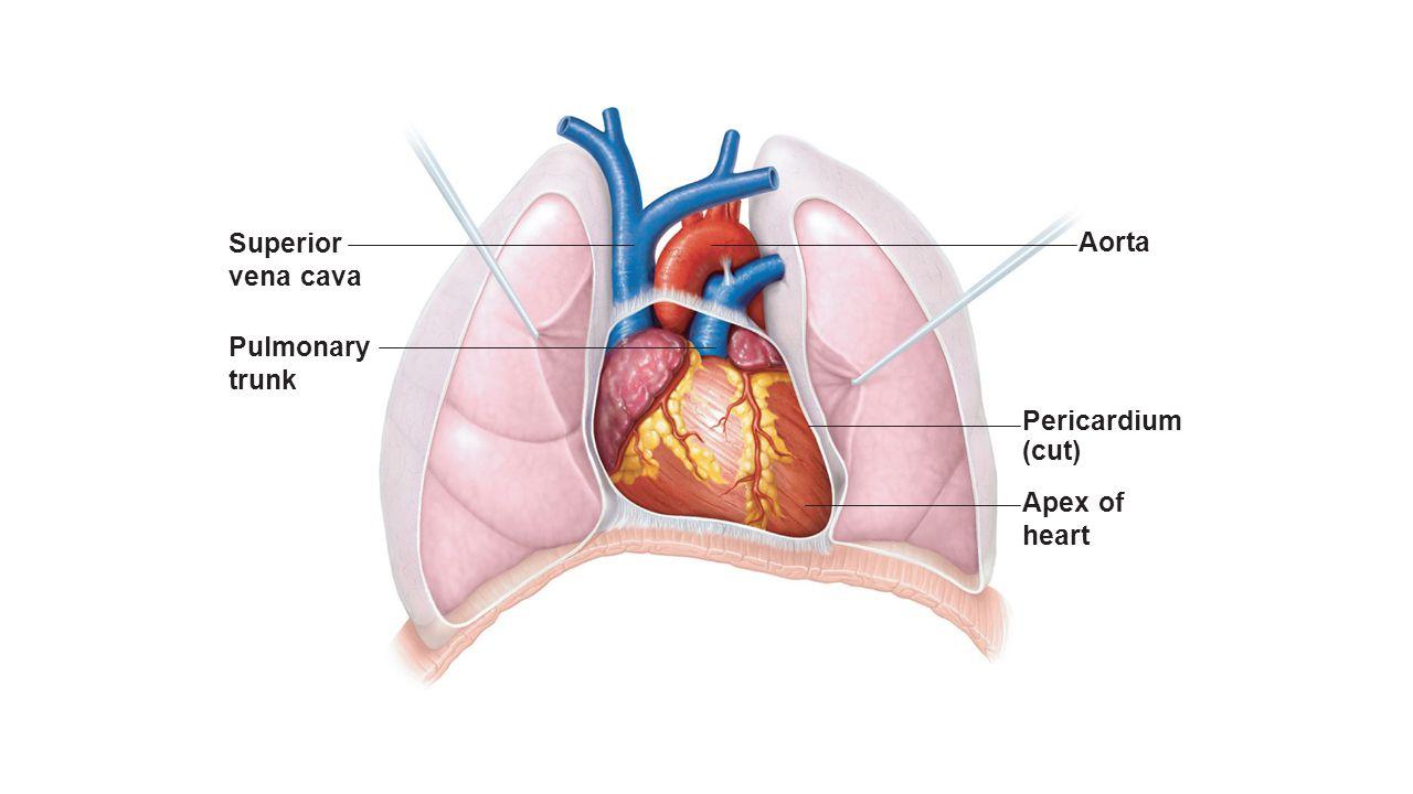 Pulmonary Trunk