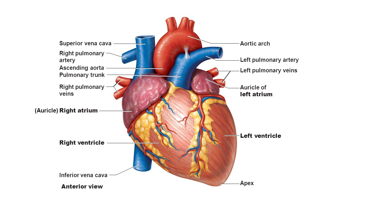 Ti Jq Rrapo Xw Uopmhmw Cross Section L English besides Diagram further Uumjbixbklu Eyeg Hgcyg M together with Orig likewise Aorta. on ascending aorta diagram