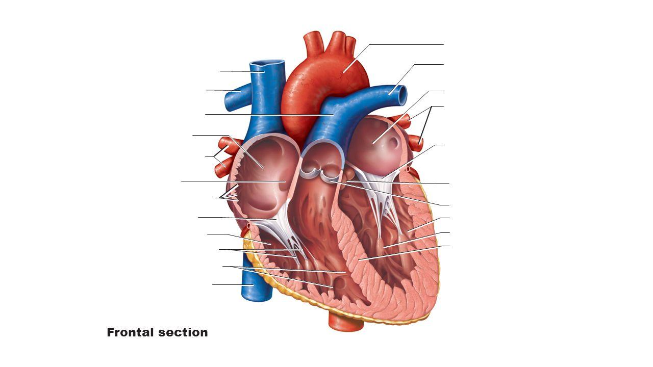 Frontal section pig heart diagram sagittal cut www picsbud com