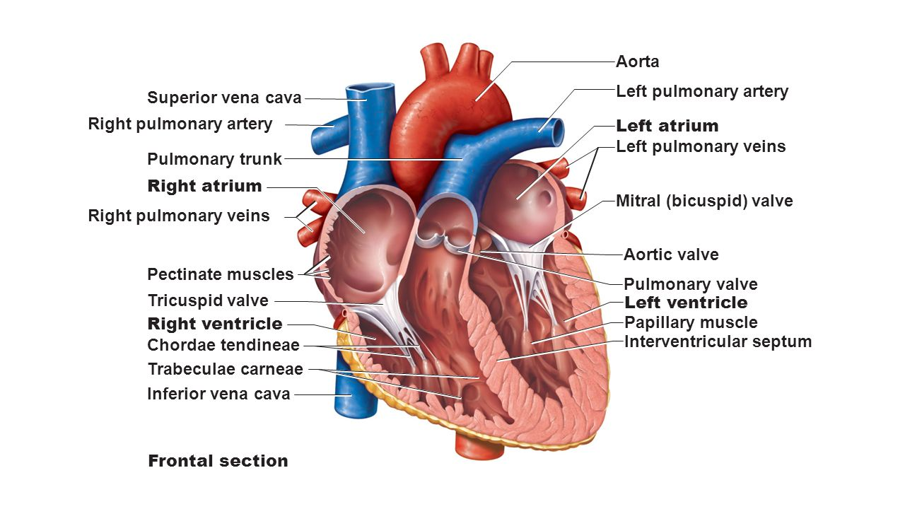 superior vena cava aorta pulmonary trunk pericardium (cut) apex of, Human Body
