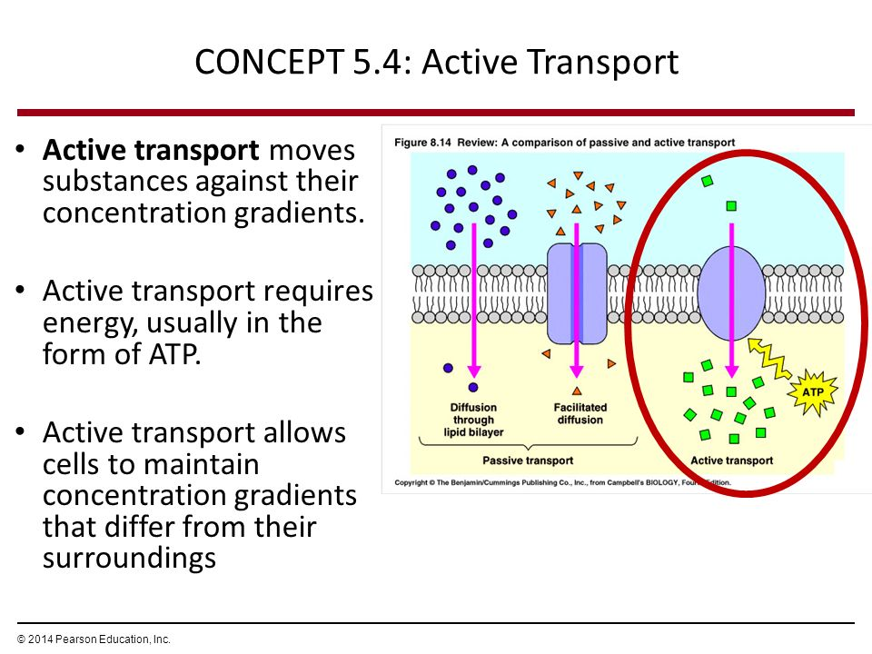 Facilitated Diffusion and Active Transport - ppt video online download