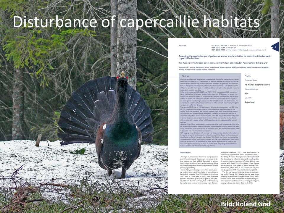 Disturbance of capercaillie habitats Bild tiere im winter