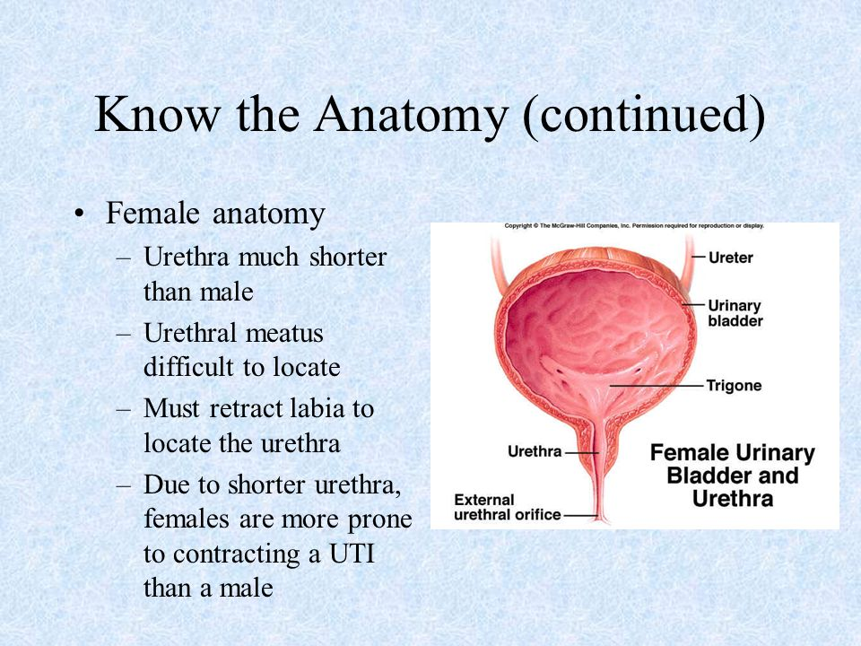 Female meatus anatomy